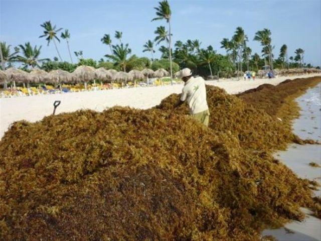 Punta cana beach seaweed