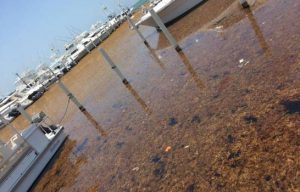 Boca Chica fills with Sargasso seaweed