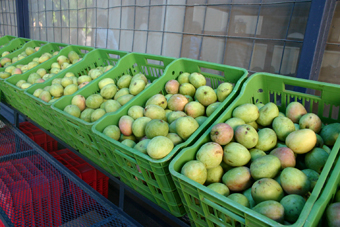 Mangoes head to main market as US certifies export