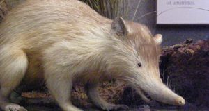 Truly one-of-a-kind Solenodon